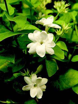 Patio & tropicals Jasmine