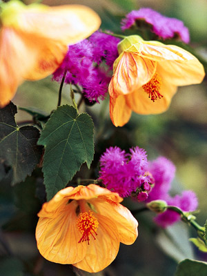 Patio & tropicals flowering maple